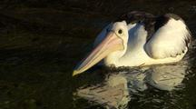 Australian Pelican Fishes In Estuary