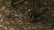 Wonga Pigeon Searches Forest Floor For Nesting Material