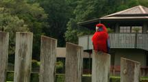 Crimson Rosella Sits On Fence At Mountain Resort