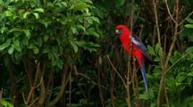 Crimson Rosella Sits In Tree