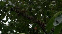 Silvereyes Feed On Umbrella Tree Fruit
