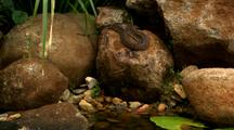 Rough-Scaled Or Keelback Snake On Rock