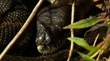 Large Carpet Python Dozes Then Travels