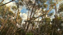 Eucalyptus Forest With Fruit Bats