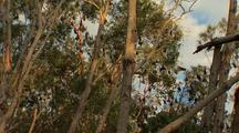 Fruit Bats Rest In Eucalyptus Tree Tops