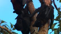 Fruit Bats Hang In Tree