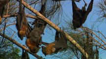 Fruit Bats Hang In Tree, Interact