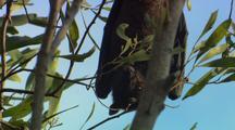 Fruit Bat Hangs In Tree