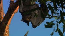 Fruit Bat Hangs In Tree, Spreads Wings