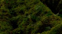 Ferns And Moss Grow On Beech Tree In Rainforest