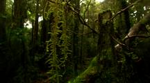 Mossy Branches In Beech Forest