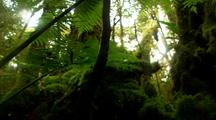 Tree Fern Grows Among Beech Trees In Rainforest
