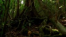 Dense Vegetation In Rainforest, Pan Canopy To Roots