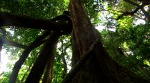 Dense Vegetation In Rainforest, View Up To Canopy