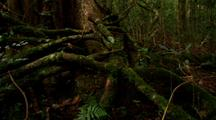 Dense Vegetation In Rainforest, Roots And Branches