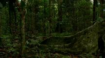 Dense Vegetation In Rainforest, Buttressed Tree Roots