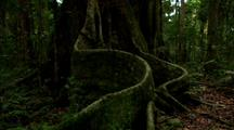 Dense Vegetation In Rainforest, Ferns And Buttressed Tree Roots