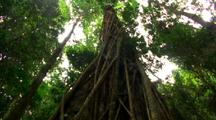 Dense Vegetation In Rainforest, Vines Up Tree Trunk, Possible Strangler Fig