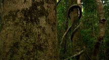 Dense Vegetation In Rainforest, Vines Up Tree Trunk