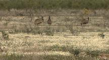 Australian Wildflowers & Emus