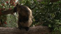 Lumholtz's Tree Kangaroo & Joey