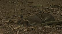 Bridled Nail-Tailed Wallaby