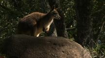 Proserpine Rock Wallaby