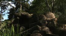 Proserpine Rock Wallaby