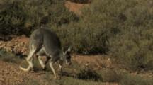 Red Kangaroo With Joey Hops Through Desert