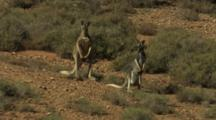 Red Kangaroos With Joey Rest In Desert