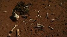 Dead Cow Skull, Skeleton On Red Outback Dirt