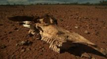 Dead Cow Skull, Skeleton On Red Outback Dirt