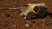 Dead Cow Skull On Red Outback Dirt