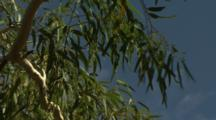 Close-Up Branches, Leaves Of Eucalyptus Or Gum Tree