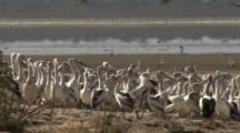 Pelican Rookery, Lake Wyara, Currawinya National Park