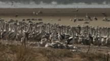 Chicks At Pelican Rookery, Lake Wyara, Currawinya National Park