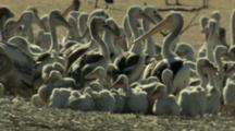 Pelicans And Chicks Gather In Sandy Area At Lake Rookery