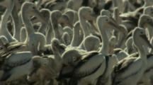 Pelicans And Chicks Packed Tightly At Lake Rookery
