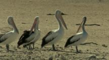 Pelicans Preen In Sandy Area At Lake Rookery