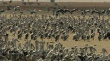 Pelicans Gather In Sandy Area At Lake Rookery