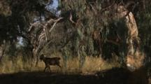 Goats Walk Through Gum Tree Forest