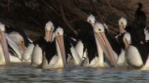 Migrating Pelicans Feed At Watering Hole