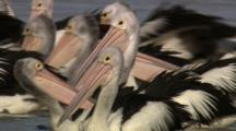 Flock Of Migrating Pelicans Feed At Watering Hole