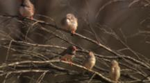 Zebra Finches Perched In Tree