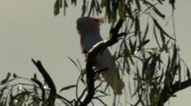 Major Mitchell's Cockatoo Perched In Gum Tree, Flies Away