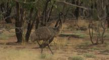 Emu Walks In Outback Bush