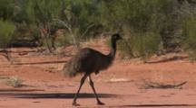 Emus Walk In Outback Bush