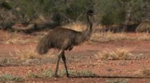 Emus Run In Outback Bush