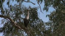 Pacific Heron Perched In Tree