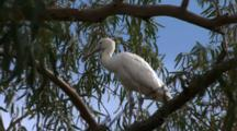 Spoonbill, Possibly Yellow-Billed Spoonbill, Perched In Tree